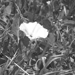 Bindweed with bug 6 17 18 thumbnail