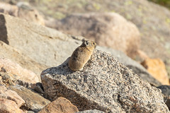 American Pika scouting out the terrain