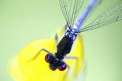 Isotytönkorento - Erythromma najas - Red-eyed damselfly (Henri Koskinen) Tags: erythromma najas large redeye damselfly isotytönkorento tytönkorento odonata helsinki viikki finland 09062018 dragonfly