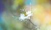 Nigella (Dhina A) Tags: sony a7rii ilce7rm2 a7r2 a7r lensbaby twist 60 optic 60mm lensbabycomposerpro f25 bokeh art lens manual focus emount creative photography blur nigella flower nigelladamascena loveinamist missjekyll