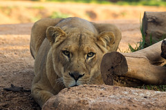 (Laszlo Papinot) Tags: werribeeopenrangezoo lion lioness focus sight log werribee grass ground