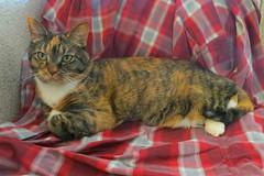 Gracie 21 May 2018 9434Ri 4x6 (edgarandron - Busy!) Tags: cat cats kitty kitties tabby tabbies cute feline gracie patchedtabby