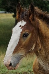 Young Clydesdale (timvandenhoek1) Tags: warmspringsranch budweiser anheuserbusch clydesdale horse colt missouri midwest sonyilce6000 sonye55210mmzoomlens drafthorse equine farm overton boonville timvandenhoek
