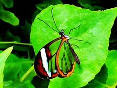Glass Wings (Steve Taylor (Photography)) Tags: glasswinged butterfly insect clear wings glass transparent green brown black orange leaf leaves