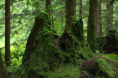 New (Kristian Francke) Tags: tree stump forest green moss leaf undergrowth nature natural bc canada pentax bokeh depth field dof
