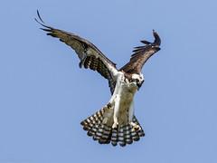Female Osprey (Bob Gilley) Tags: female osprey chesapeake bay maryland