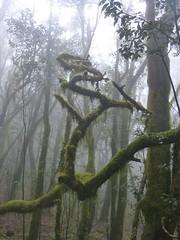 Garajonay Nemzeti Park köderdője (ossian71) Tags: spanyolország spain kanáriszigetek canaryislands lagomera gomera garajonay erdő forest laurisilva babérerdő köderdő köd fog természet nature tájkép landscape fa tree