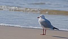 A morning at the beach ... (judith511) Tags: beach sand water ocean waves rocks rockpools birds seagulls seaweed