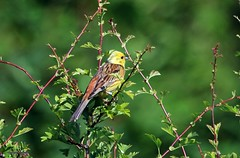 Yellowhammer (m)  J78A0593 (M0JRA) Tags: birds flight flying wildlife rats walks gardens parks fields trees lakes ponds ducks swans