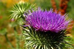 Cardo Mariano (alfonsocarlospalencia) Tags: cardo violeta morado mariano segovia verde macro desenfoque clamores verano calor abantos paseo telarañas puntiagudo