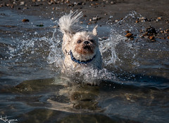 Geronimo!!!! (Wayne Cappleman (Haywain Photography)) Tags: surf dog beach wittering west photography haywain cappleman wayne waynecappleman