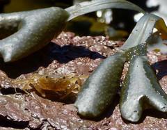 Crab (LouisaHocking) Tags: penarth south wales crab beach ocean rockpool rockpools marina crustacean animal sea seaside nature wild wildlife