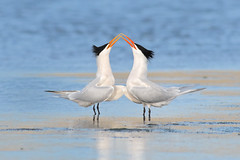 Courtship (bmse) Tags: canon 7d2 400mm f56 l bmse salah baazizi wingsinmotion canon7d2400mmf56l elegant tern courtship courting water beaks