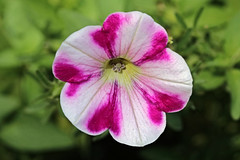 Photo of a Petunia (hbickel) Tags: petunia redpetunia flower red white canont6i canon photoaday pad macro