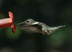 Ruby-throated Hummingbird (snooker2009) Tags: bird hummingbird flower trumpet vine migration small colorful nature wildlife pennsylvania