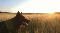Good night (Jos Mecklenfeld) Tags: totoro dutchshepherd dutchshepherddog shepherd shepherddog hollandseherder hollandseherdershond herder herdershond summer zomer sunset zonsondergang sonyxperiaz5 xperia