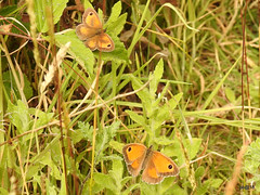 Male (top) and Female Gatekeeper Butterflies. (pete Thanks for 3 Million Views Many thanks to eve) Tags: hwcp nikonp900 worldcup brexit greattit summer wickedweasel