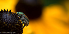 In the Garden (OJeffrey Photography) Tags: beetle garden panorama pano nikon d500 ojeffrey ojeffreyphotography jeffowens