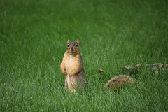 21/365/3673 (July 2, 2018) - Squirrels in Ann Arbor at the University of Michigan (July 2nd, 2018) (cseeman) Tags: gobluesquirrels squirrels annarbor michigan animal campus universityofmichigan umsquirrels07022018 summer eating peanut julyumsquirrel juveniles juvenilesquirrels 2018project365coreys yearelevenproject365coreys project365 p365cs072018 356project2018