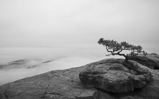 Pine on Lilienstein on a misty morning