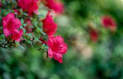 azalea (kderricotte) Tags: azalea flower plant outdoor sony sel85f18 ilce7m2 sonya7ii bokeh depthoffield sonyfe85mm18