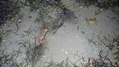 Charybdis anisodon (wildsingapore) Tags: changi carpark1 portunidae crustacea decapoda charybdis anisodon shore island singapore marine coastal intertidal seashore marinelife nature wildlife underwater wildsingapore