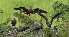 "Glossy Ibises - ""Gather Round"" 07.12.18 (in explore) (Lee J2) Tags: glossyibis plegadisfalcinellus oceancity newjersey birds inexplore"