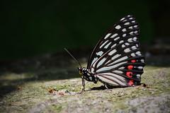 Red Ring Skirt (Gomen S) Tags: asia tropical wildlife nature d500 nikon hk hongkong china animal macro 2018 summer butterfly insect morning 105mmmicro mountain