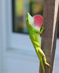 Carolina anole (galsafrafoto) Tags: carolinaanole reptilia southcarolina americanchameleon americangreenanole nature macro summer animal anolis lizard anoliscarolinensis