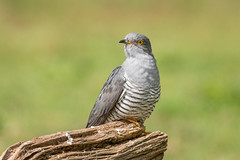 Cuckoo 500_9781.jpg (Mobile Lynn) Tags: birds nature cuckoo bird fauna wildlife thursley england unitedkingdom gb coth specanimal ngc coth5 npc