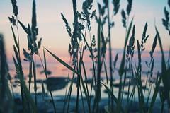 natural habitat (Diana Knjazeva) Tags: nature estonia eesti türisalu nikon d3300 1855 sea sunset rock plant sky