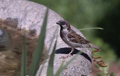 A Gleam in His Eye (robinlamb1) Tags: nature outdoor animal bird sparrow housesparrow passerdomesticus birdbath flower