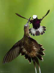Snowcap (Microchera albocoronata)  defending his territory in flight (Chris Jimenez - Take Me To The Wild) Tags: copewildlife defending tail rare cap frontview inflight colibries hermit colibri costarica photography snowcap lowlands display twohummingbirds white tours terretory hummers nature flying guapiles spread colibrie action purple workshops birding bird fly twoanimals humminbird chrisjimenez birds microcheraalbocoronata tropical centralamerica