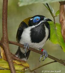 Blue-faced Honeyeater (captive) (Jim Scarff) Tags: australianbirds bluefacedhoneyeater entomyzoncyanotis honeyeaters passerines captive berrysprings northernterritory australia geo:lon=130993025 exif:lens=ef100400mmf4556lisiiusm geo:country=australia camera:model=canoneos7dmarkii camera:make=canon exif:isospeed=1600 geo:city=berrysprings geo:lat=12701928333333 exif:aperture=ƒ10 geo:location=territorywildlifepark exif:model=canoneos7dmarkii geo:state=northernterritory exif:focallength=286mm exif:make=canon