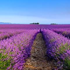 _DSF3211-XT.jpg (laurentspinner) Tags: valensole fleurs lieux lavande xt
