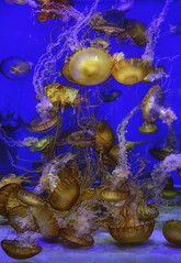 Jellyfish - Aquarium Of The Pacific - Los Angeles (tommy shoots) Tags: jellyfish aquarium fish