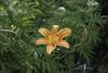 Daylily (Giorgi Natsvlishvili) Tags: hemerocallisfulva hemerocallis daylily ditchdaylily tawnydaylily tigerdaylily orangedaylily fulvousdaylily lily flower