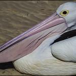 Pelican on Bribie Is beach-01= thumbnail