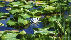 Reflections (MarieFrance Boisvert) Tags: waterlily nénuphars marsh marais reflections white flower
