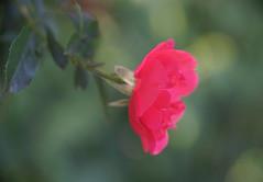 DSC09020 (Old Lenses New Camera) Tags: sony a7r kodak medalist ektar heliar 100mm f35 plants garden flowers rose roses