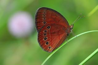 Cedar Bush-brown – Mycalesis sirius