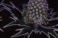 honey bee on eryngium (conall..) Tags: manipulated manipulatedimage photoshop elements 15 messing abstract weird glowing edges eryngium honeybee honey bee