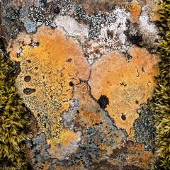 Lichen (Donard850) Tags: iceland westfjords abstract lichen