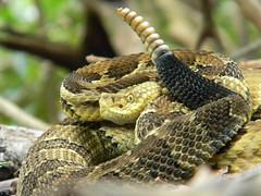 Crotalus horridus (timber rattlesnake) (nicholasrmassey) Tags: crotalus horridus timber rattlesnake reptile predator fauna venomous wildlife linvillegorge pisgah pisgahnationalforest