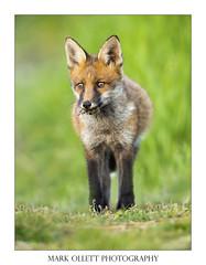 Fox Cub. (Mark Ollett) Tags: fox cub foxcub nikon norfolk norfolkwildlifetrust norfolkbroads norfolkcountryside norwich nature nikon500vr wildlife wildlifephotography wild