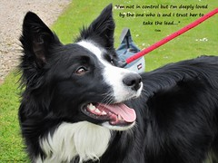 I'm Deeply Loved (ASHA THE BORDER COLLiE) Tags: inspirational quote lead loved border collie ashathestarofcountydown connie kells county down photography