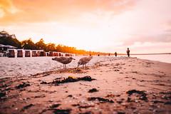 Birds in Binz (tonyhoertrauschen) Tags: sunset sun beach ocean animals fly sundown yellow fujix100f 35mm travel landscape sunlight bright water sky