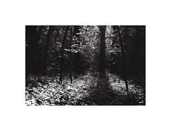 16. (kotmariusz) Tags: light tree nature monochrome blackandwhite bw monochrom monochromatyczny drzewa natura światło analog 35mm filmphotography polska poland świdnica