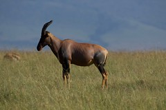 Masai Mara (PMPina) Tags: kikwetu cultural adventures kenya safari masai mara