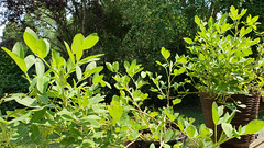 Sunny Spot (grinnin1110) Tags: arachishypogaea oilcrop peanutpegs leguminosae familyfabaceae goober unitedstatesofamerica eudicots legume genusarachis annualherbaceousplant speciesahypogaea charlotte cropplants angiosperms peafamily northcarolina geocarpy subfamilyfaboideae mecklenburgcounty peanutplants nyctinasticleaves usa notatruenut flora nitrogenfixing groundnut landgrantroad grainlegume fixnitrogen kingdomplantae nc edibleseeds orderfabales beanfamily unitedstates us
